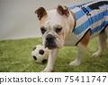 영어 불독 강아지 축구 의상 아르헨티나 대표 10 번 사진 238 75411747