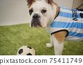 영어 불독 강아지 축구 의상 아르헨티나 대표 10 번 사진 240 75411749