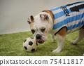 영어 불독 강아지 축구 의상 아르헨티나 대표 10 번 사진 241 75411817