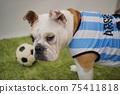 영어 불독 강아지 축구 의상 아르헨티나 대표 10 번 사진 242 75411818