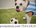 영어 불독 강아지 축구 의상 아르헨티나 대표 10 번 사진 243 75411819