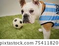영어 불독 강아지 축구 의상 아르헨티나 대표 10 번 사진 244 75411820