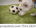 영어 불독 강아지 축구 의상 아르헨티나 대표 10 번 사진 248 75411824