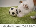 영어 불독 강아지 축구 의상 아르헨티나 대표 10 번 사진 249 75411825