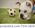 영어 불독 강아지 축구 의상 아르헨티나 대표 10 번 사진 250 75411826