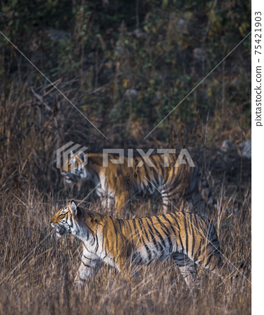 Indian wild royal bengal tiger side view stalking prey during outdoor safari at dhikala zone of jim corbett national park or tiger reserve india - panthera tigris tigris 75421903