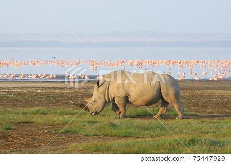 納庫魯湖(肯尼亞)上的白犀牛和火烈鳥群 75447929