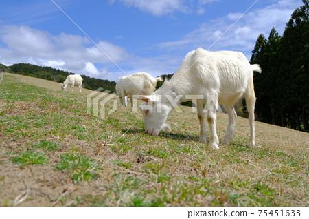 可愛的山羊在牧場千葉縣佐藤市牧場吃草 75451633