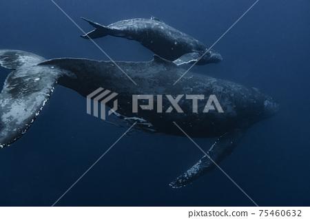 座頭鯨的父母和孩子 75460632