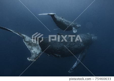 座頭鯨的父母和孩子 75460633