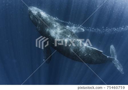 呼出座頭鯨 75460759