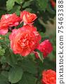 로즈 레드가 아름다운 장미 75463388