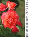 로즈 레드가 아름다운 장미 75463391