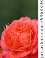 로즈 레드가 아름다운 장미 75463393