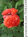로즈 레드가 아름다운 장미 75463399