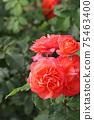 로즈 레드가 아름다운 장미 75463400