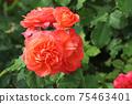 로즈 레드가 아름다운 장미 75463401