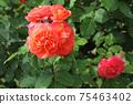 로즈 레드가 아름다운 장미 75463402