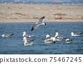 飛翔的黑尾鷗鷗(Larus crassirostris) 75467245