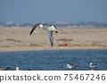 飛翔的黑尾鷗鷗(Larus crassirostris) 75467246