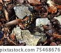 fire salamander 75468676
