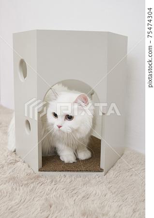 土耳其Siangora貓 75474304