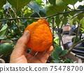 Dekopon Japanese citrus in hand on garden. 75478700