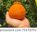 Dekopon Japanese citrus in hand on garden. 75478701