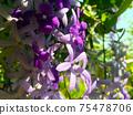 Sandpaper vine, Queens Wreath, Purple Wreath flower blooming in my garden photo. 75478706