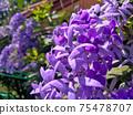Sandpaper vine, Queens Wreath, Purple Wreath flower blooming in my garden photo. 75478707