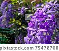 Sandpaper vine, Queens Wreath, Purple Wreath flower blooming in my garden photo. 75478708