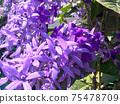 Sandpaper vine, Queens Wreath, Purple Wreath flower blooming in my garden photo. 75478709