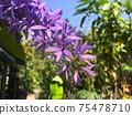 Sandpaper vine, Queens Wreath, Purple Wreath flower blooming in my garden photo. 75478710