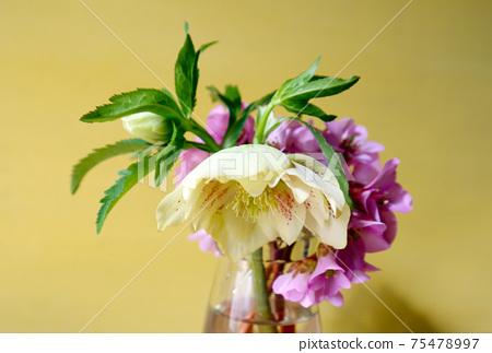 Cut flowers of Christmas rose 75478997
