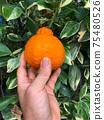 Hand holding Japanese citrus name Dekopon on garden. 75480526
