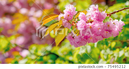 sakura blossom in sunlight. beautiful nature background in springtime. pink flowers in front of a blurry garden bokeh 75495212