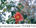 Red Camellia Japonica flowers blooming bush with green leaf in the park. Japanese Camellia in blooms 75498730