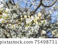 Flowering fruit tree in springtime, beautiful spring white flower 75498731