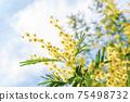 Blooming branch of Acacia dealbata, Silver acacia or Mimosa. Festive spring season concept. Mimosa branches in bloom. Mother s Day, 8 March, Easter. Garden, gardening 75498732