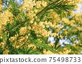 Blooming branch of Acacia dealbata, Silver acacia or Mimosa. Festive spring season concept. Mimosa branches in bloom. Mother s Day, 8 March, Easter. Garden, gardening 75498733