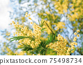 Blooming branch of Acacia dealbata, Silver acacia or Mimosa. Festive spring season concept. Mimosa branches in bloom. Mother s Day, 8 March, Easter. Garden, gardening 75498734