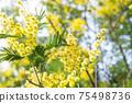 Blooming branch of Acacia dealbata, Silver acacia or Mimosa. Festive spring season concept. Mimosa branches in bloom. Mother s Day, 8 March, Easter. Garden, gardening 75498736