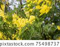 Blooming tree of Acacia dealbata, Silver acacia or Mimosa. Festive spring season concept. Mimosa branches in bloom. Mother s Day, 8 March, Easter. Garden, gardening 75498737