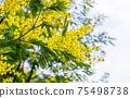 Blooming branch of Acacia dealbata, Silver acacia or Mimosa. Festive spring season concept. Mimosa branches in bloom. Mother s Day, 8 March, Easter. Garden, gardening 75498738