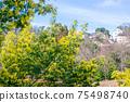 Blooming tree of Acacia dealbata, Silver acacia or Mimosa. Festive spring season concept. Mimosa branches in bloom. Mother s Day, 8 March, Easter. Garden, gardening 75498740