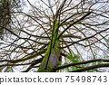 large branchy tree with moss on the trunk, the Arboretum park of the Sochi city, Russia 75498743