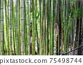Bamboo grove in the Arboretum park of the Sochi city, Russia 75498744