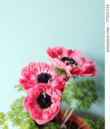 銀蓮花屬的花 75502318
