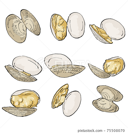 Illustration set of open clams, with shadows and main lines 75508070