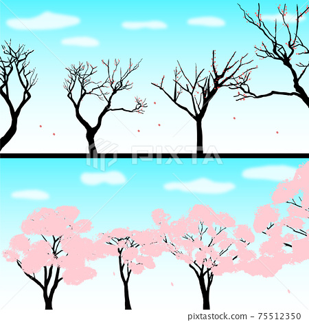 The arrival of spring: plum trees and cherry trees in full bloom 75512350